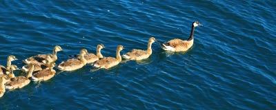 Canada Geese Minocqua Wisconsin Stock Image