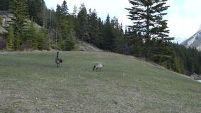 Canada geese at a national park in the rockies stock video