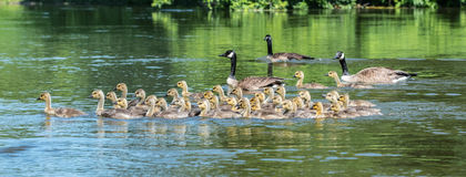 Canada geese are natural babysitting parents. The birds bring their goslings together in flocks often referred to as creches. It's like a big kindergarten with stock image