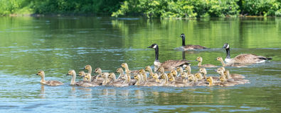 Canada geese are natural babysitting parents. The birds bring their goslings together in flocks often referred to as creches. It's like a big kindergarten with royalty free stock images