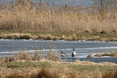 Canada geese in the nature reserve. A Canada geese in the nature reserve Stock Photo