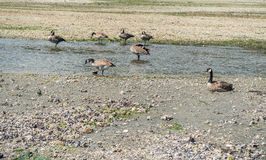 Canada Geese At Normandy Park Royalty Free Stock Images