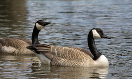 Canada Geese Pair Swimming in Lake royalty free stock photos