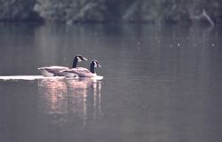 Canada Geese Pair royalty free stock image