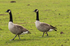 Canada geese Royalty Free Stock Photo