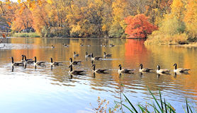 Canada Geese Parade Stock Photo