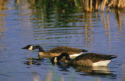 Canada Geese on Pond Stock Photo