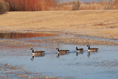 Canada Geese on pond Royalty Free Stock Images