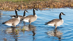 Canada Geese in a Pond Royalty Free Stock Photography