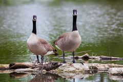 Canada Geese by the Pond at Malden Park Royalty Free Stock Images