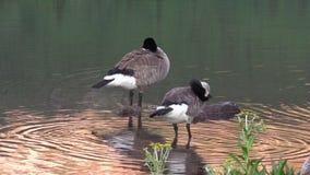 Canada Geese Preening stock footage
