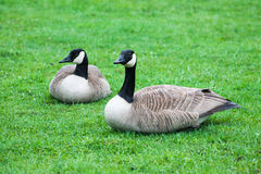 Canada geese in the rain Royalty Free Stock Photo