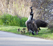 Canada geese are ready to sacrifise themselves Royalty Free Stock Photography