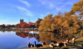 Canada Geese and Red and Golden Foliage. Red and Golden Foliage in Charles River Reservation in Boston, Massachusetts, USA Stock Images