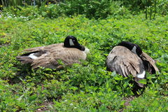 Canada geese. Rest on green field Stock Images