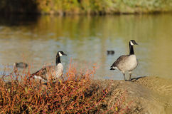 Canada Geese Resting Beside the Autumn Lake Royalty Free Stock Image