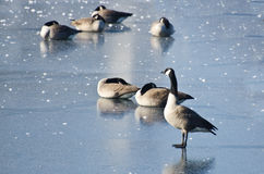 Canada Geese Resting on Frozen Lake Royalty Free Stock Photos