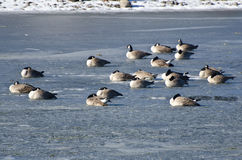 Canada Geese Resting on Frozen Lake Stock Image