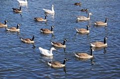 Canada geese on River Derwent, Derby. royalty free stock photography