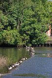 Canada geese on River Derwent, Derby. Royalty Free Stock Photo