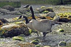 Canada Geese on Rocky Shore Royalty Free Stock Photos