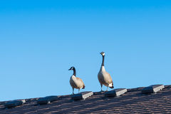 Canada Geese on a roof Stock Photos