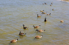 Canada Geese seeking food in a sea inlet Royalty Free Stock Photos