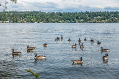 Canada Geese At Seward Park 3. Canada Geese paddle on the water at Seward Park in Seattle, Washington Stock Images