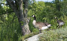 Canada Geese On The Shoreline Royalty Free Stock Photography