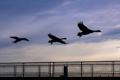 Canada geese in silhouette flying at sunrise stock photography