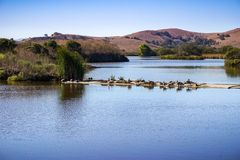 Canada Geese sitting on a levee in the waterways in Coyote Hills Regional Park, East San Francisco Bay Area, Fremont, California royalty free stock image