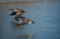 Canada Geese Skimming the Water. A pair of Canada Geese (Branta canadensis) fly low over the water of a pond Royalty Free Stock Image