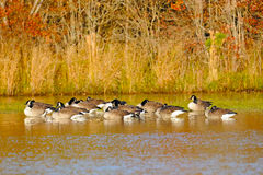 Canada Geese Sleeping. In a pond Royalty Free Stock Image