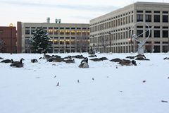 Canada geese on snow in Indianapolis, Indiana, USA . royalty free stock photos