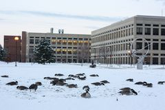 Canada geese on snow in Indianapolis, Indiana, USA . stock image