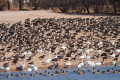 Canada Geese and Snow Geese Roosting on a Shore stock image