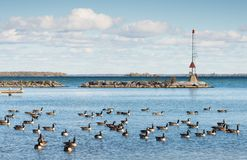 Canada geese at the southern shore of Lake Simcoe in Ontario. Canada geese congregating in the fall at the Jackson Point at southern shore of Lake Simcoe in stock images