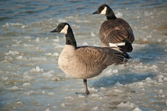Canada Geese Standing on a Frozen Pond. A pair of Canada Geese (Branta canadensis) stand on the slushy surface of a frozen pond Royalty Free Stock Photo