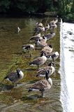 Canada Geese standing on the weir. Stock Images