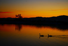 Canada Geese At Sunset Lake Royalty Free Stock Photography
