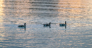 Canada geese in sunset royalty free stock photo