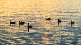 Canada geese in sunset Royalty Free Stock Image