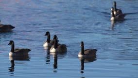 Canada Geese Swiming Toward Camera stock video