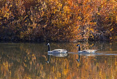 Canada Geese Swimming in Bright Fall River Stock Images