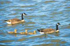 Canada geese swimming with goslings. Family of Canada geese including three goslings are swimming in the ocean at sunset Royalty Free Stock Photo