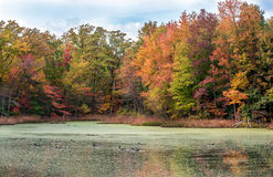 Canada Geese Swimming in Lake with Autumn Colors royalty free stock photo