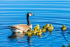 Canada Geese swimming on a Lake. A family of Canada geese swimming in a blue lake in Wisconsin Royalty Free Stock Photo