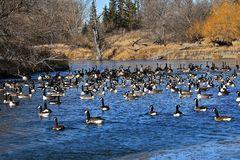 Canada geese swimming in open icy waters. A flock of migrating Canada geese gather on the ice and open waters of a river in their flight south stock photo