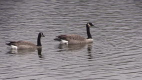Canada Geese Swimming stock video