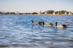 Canada geese swimming at Shoreline Park and Lake, Mountain View, California. Sailing boats in the background Royalty Free Stock Photography